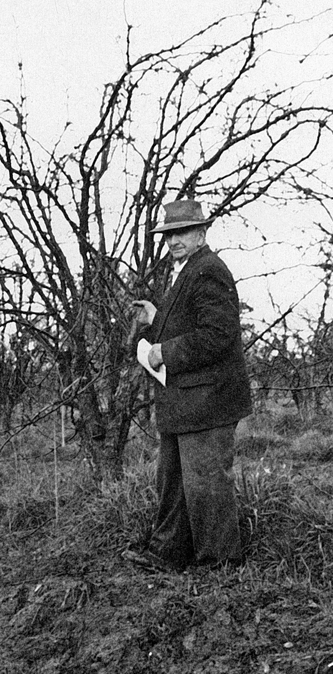Frank Petty displaying his improved Packham pear